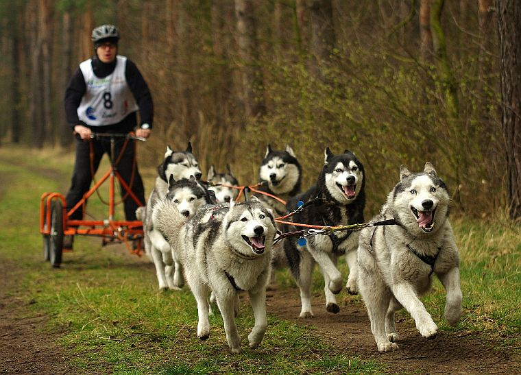 Cozy husky: best harness, leash & top tips