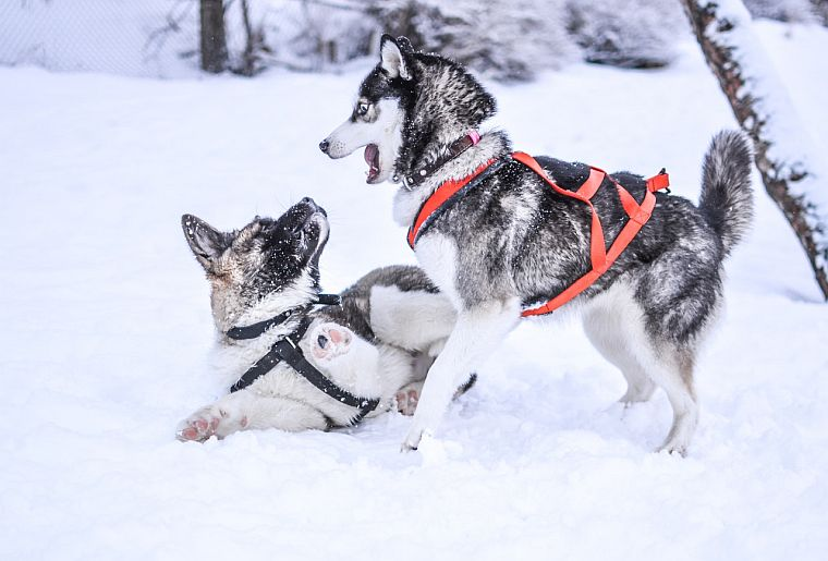 The Best Harnesses Leashes For Husky Dogs Pulling No Pull Tips