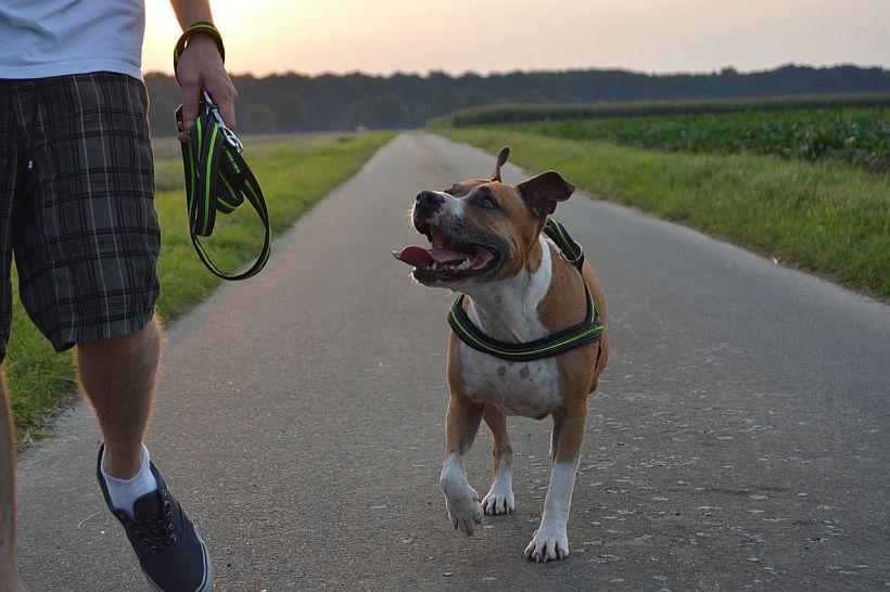 Training your pitbull: Best harness, collar & leash