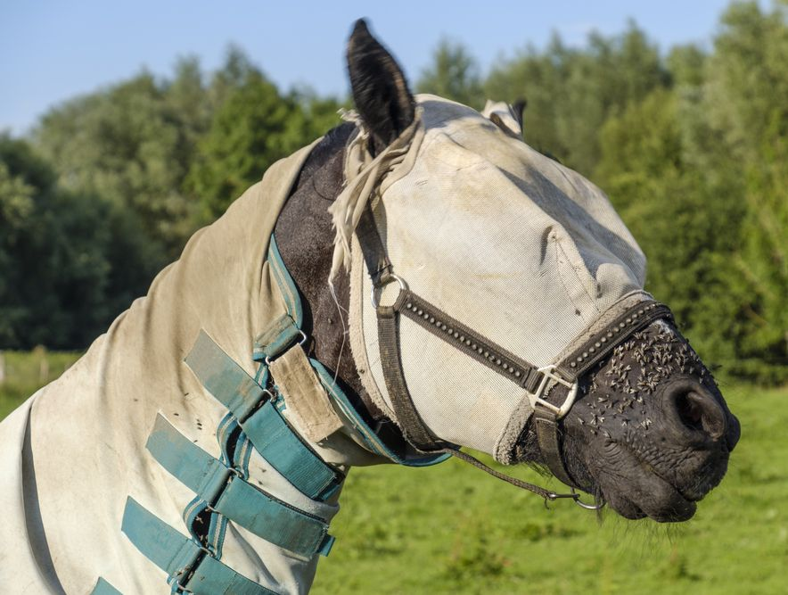 Keeping the pests away: Guide to horse fly masks & sheets