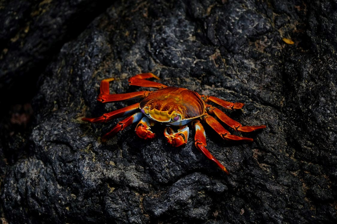 A crab which is a type of shellfish is sitting on a rock