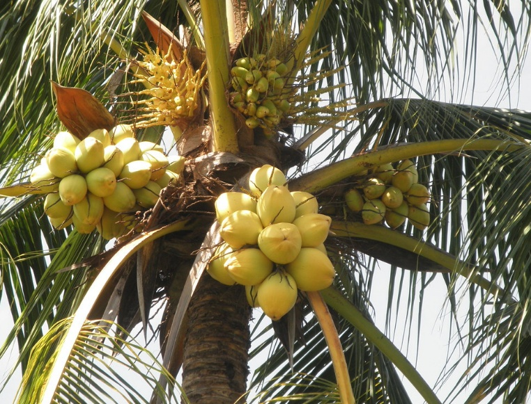 Malayan Yellow Dwarf Coconut