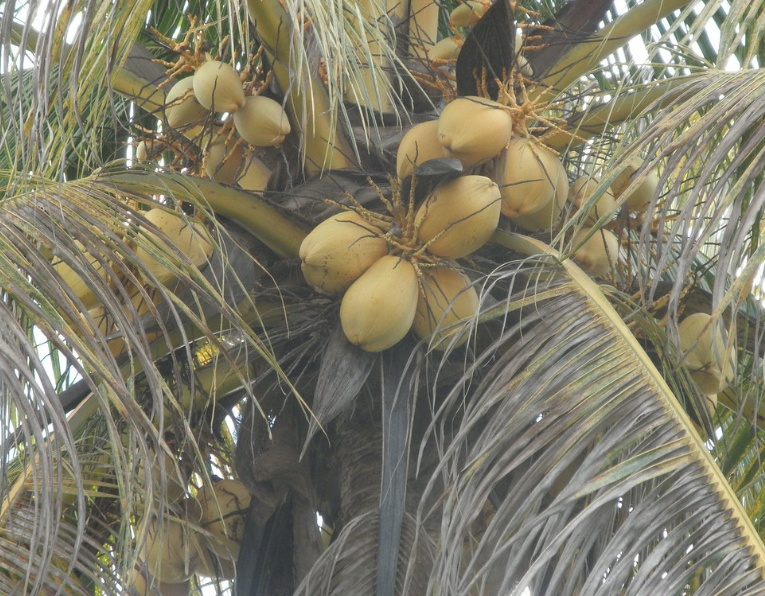 Golden Malay Coconut Palm Tree