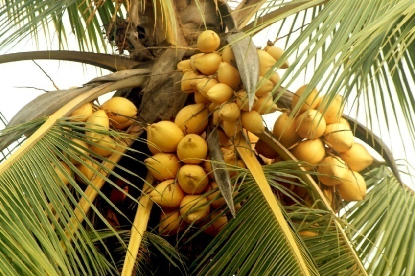 King Coconuts Palm Tree