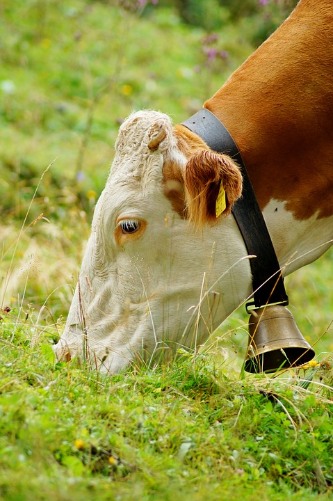 Cow Bell on Cow