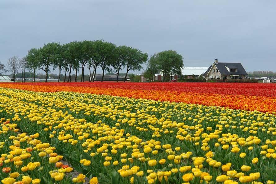 Netherlands Tulip Field