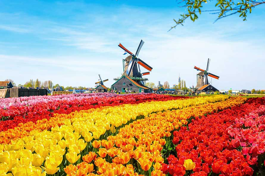 Netherlands Windmills Tulips